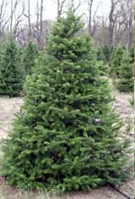 Choose & Cut Christmas Trees | Richardson Farm Experience in ...