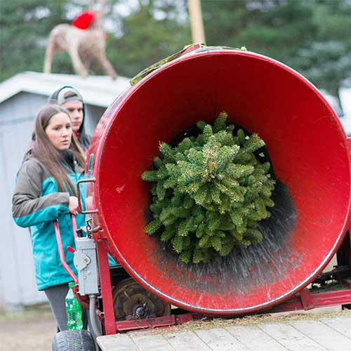 when a christmas tree is cut over half of its weight is water with proper care you can maintain the quality of your displayed trees