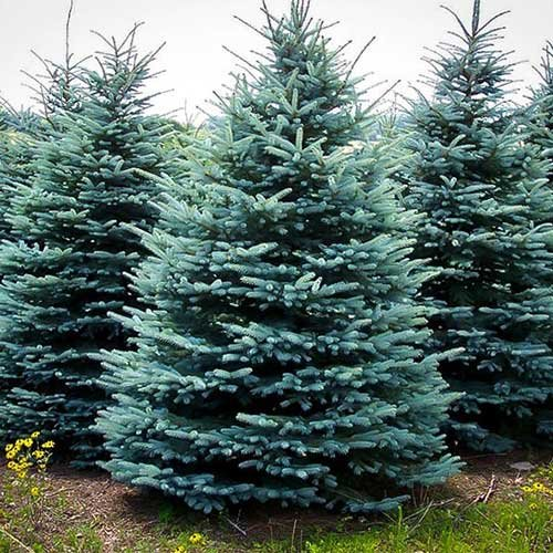 Christmas Tree Types.Pricing For Richardson Adventure Farm In Spring Grove Illinois