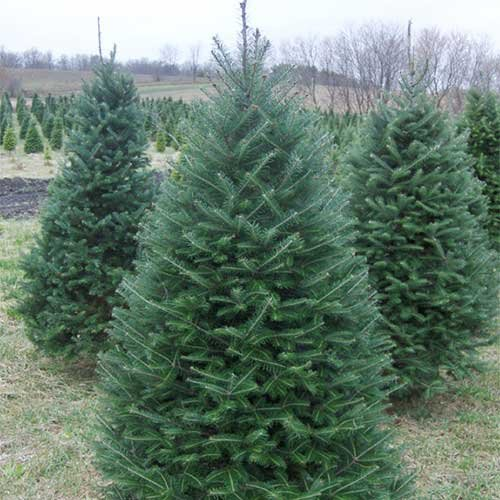 Choose and Cut Christmas Trees in McHenry County