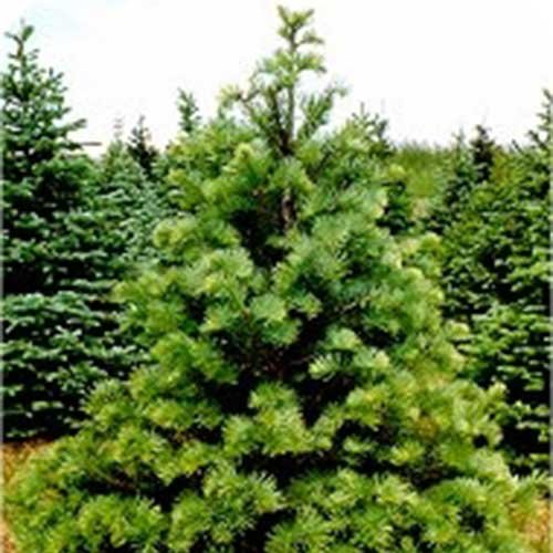 Locally Grown U-Cut Christmas Trees in Lake Country