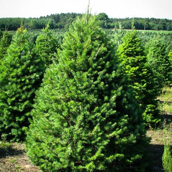 Farm Fresh Pre-cut Christmas Trees in Northern Illinois