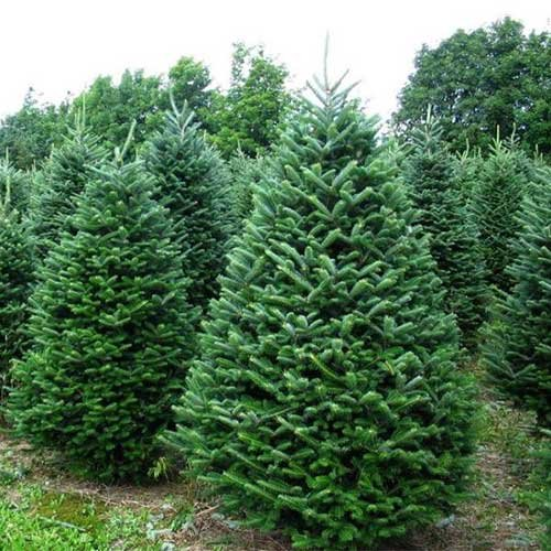 Farm Fresh Christmas Trees in McHenry County