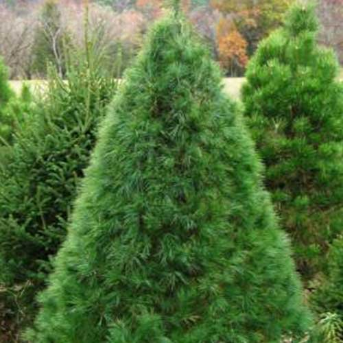 Locally grown Christmas Trees in Northern Illinois